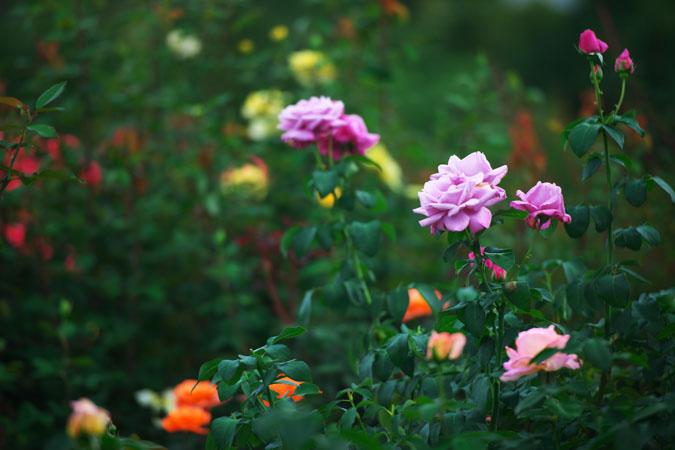 中野市 一本木公園の秋薔薇2_a0263109_20313291.jpg