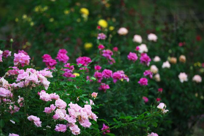 中野市 一本木公園の秋薔薇2_a0263109_2031433.jpg