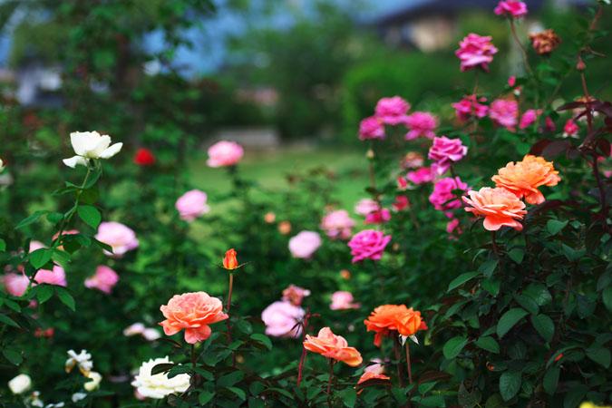 中野市 一本木公園の秋薔薇2_a0263109_2031459.jpg