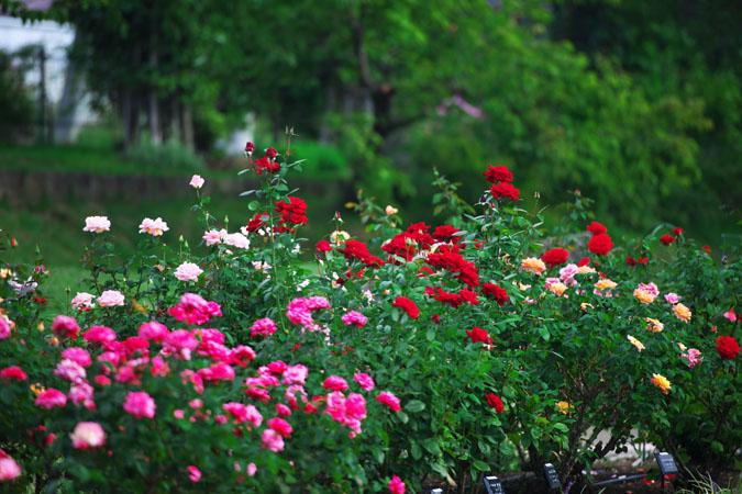 中野市 一本木公園の秋薔薇2_a0263109_20315842.jpg