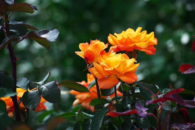 中野市 一本木公園の秋薔薇2_a0263109_20322377.jpg
