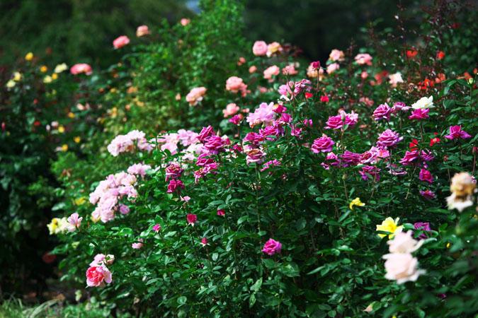 中野市 一本木公園の秋薔薇2_a0263109_20323682.jpg