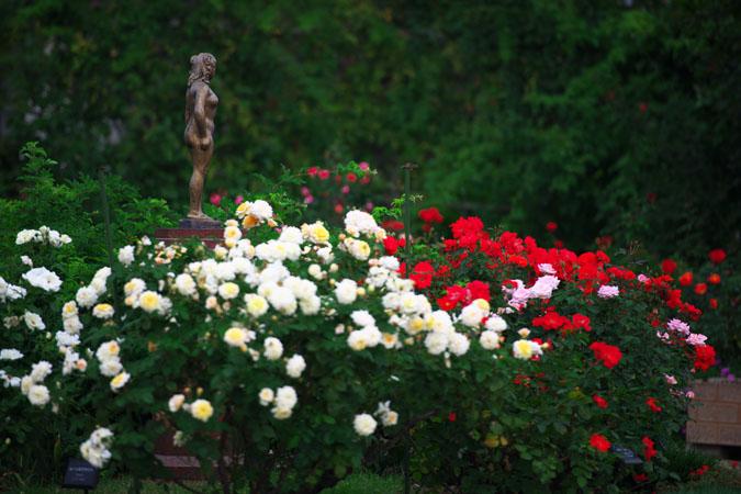 中野市 一本木公園の秋薔薇2_a0263109_20331981.jpg