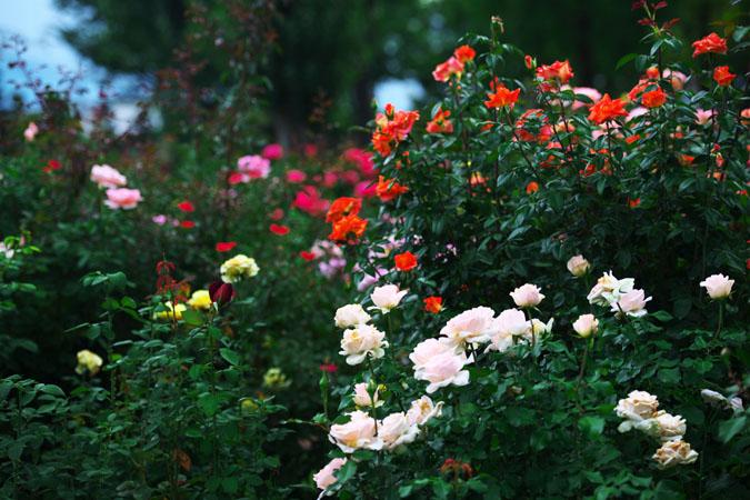 中野市 一本木公園の秋薔薇2_a0263109_2033287.jpg
