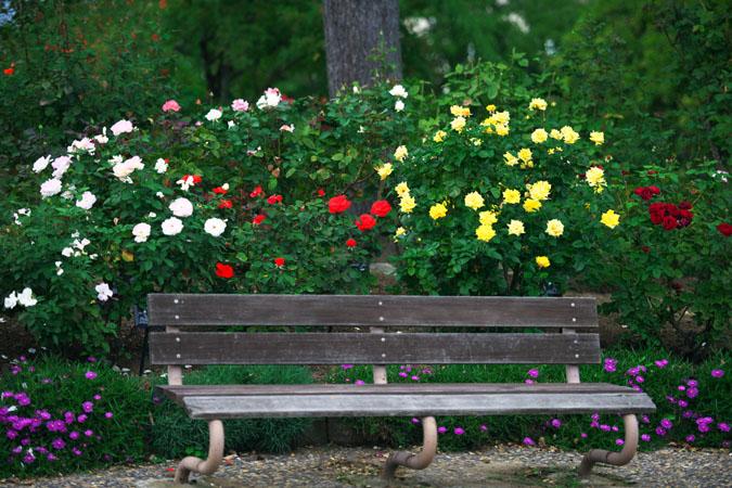 中野市 一本木公園の秋薔薇2_a0263109_2033373.jpg