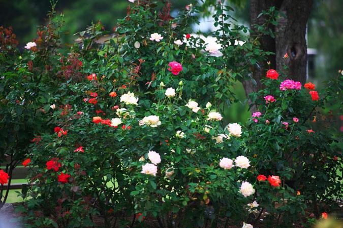 中野市 一本木公園の秋薔薇2_a0263109_20335680.jpg