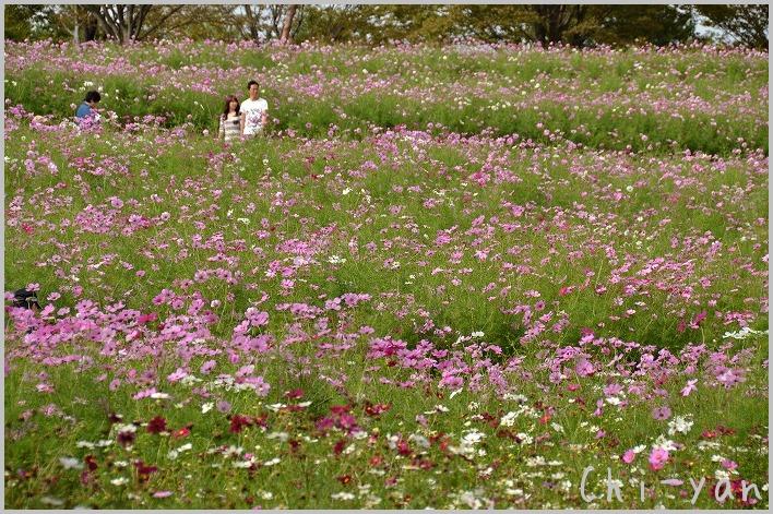 コスモスいっぱい! 「国営昭和記念公園」_e0219011_20462669.jpg