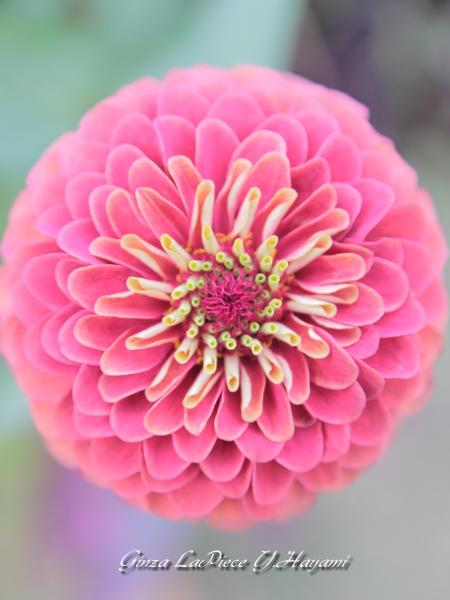 花のある風景 日比谷公園の花 まんまるダリア_b0133053_0394920.jpg