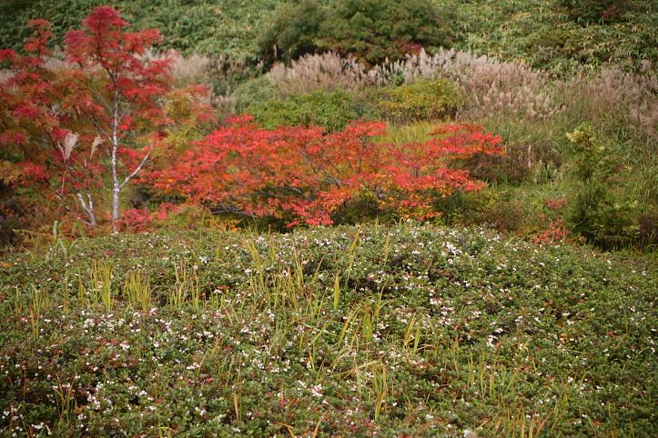 秋田 東成瀬村 シラタマノキ湿原の紅葉_e0165983_1333611.jpg