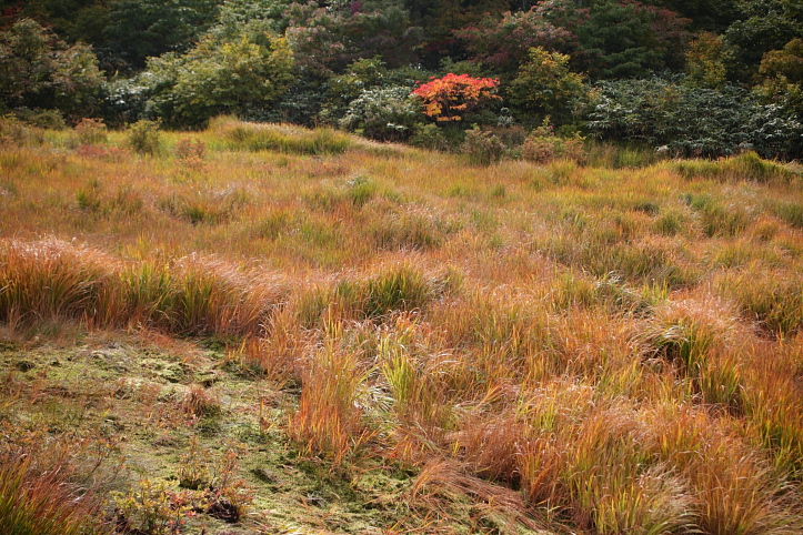秋田 東成瀬村 シラタマノキ湿原の紅葉_e0165983_13392426.jpg