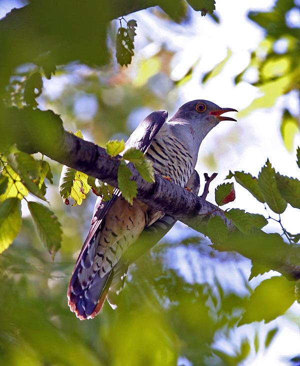 木々の中から「ツツドリ」さん♪ _d0195897_1231484.jpg