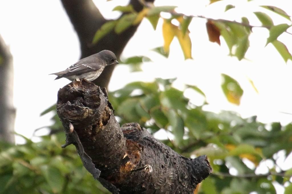 出先より; 在庫のエゾビタキ/高空から鳥撮り_b0024798_6384994.jpg
