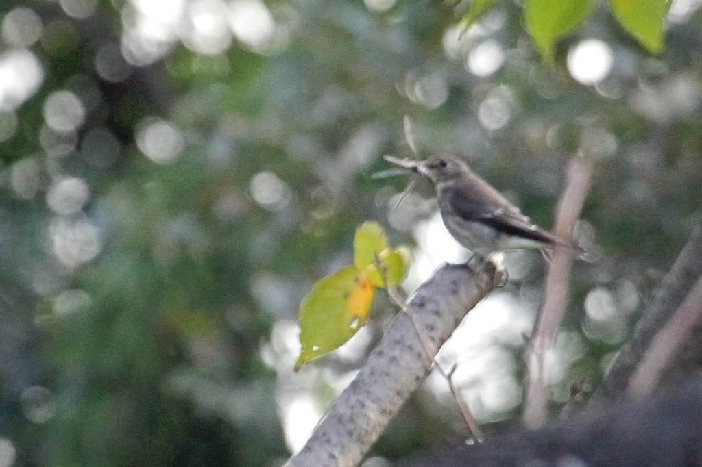 出先より; 在庫のエゾビタキ/高空から鳥撮り_b0024798_639218.jpg