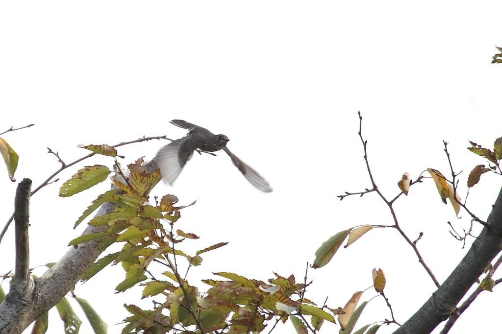 出先より; 在庫のエゾビタキ/高空から鳥撮り_b0024798_6401152.jpg