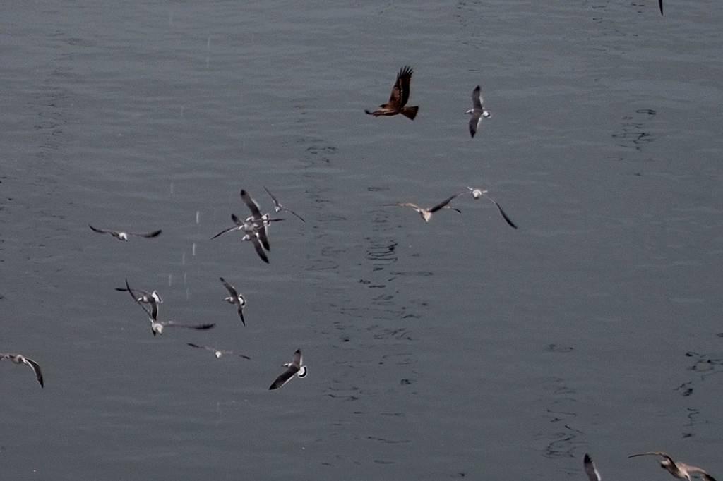 出先より; 在庫のエゾビタキ/高空から鳥撮り_b0024798_641272.jpg