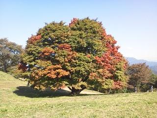 ♪カエデの木のうた_d0272805_2351428.jpg