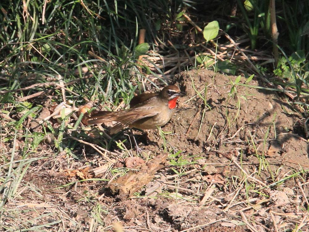 ノゴマ  紅い喉の♂雄は初見です。  2012.10.20埼玉県_a0146869_20533960.jpg