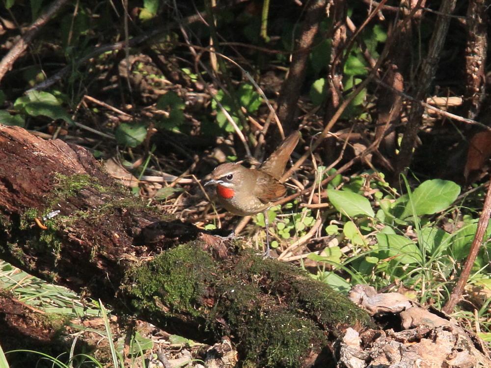 ノゴマ  紅い喉の♂雄は初見です。  2012.10.20埼玉県_a0146869_20541032.jpg