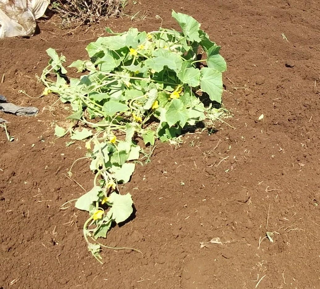 季節は秋ですが....収穫は夏野菜!_b0137932_7521643.jpg