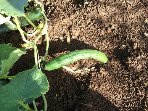 季節は秋ですが....収穫は夏野菜!_b0137932_75331.jpg
