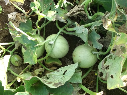 季節は秋ですが....収穫は夏野菜!_b0137932_7545569.jpg
