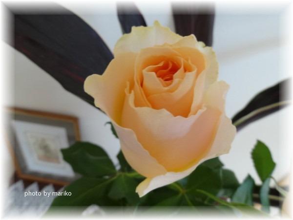 薔薇オークランド_d0165645_8504539.jpg