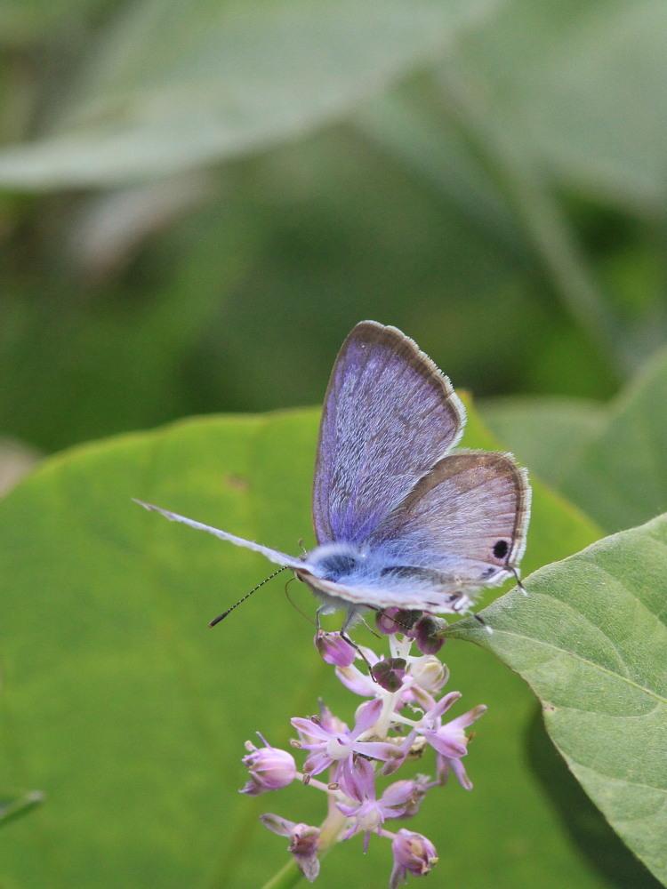ウラナミシジミ  ♂雄の全開翅が得られない。 2012.10月中旬-栃木県_a0146869_2038564.jpg