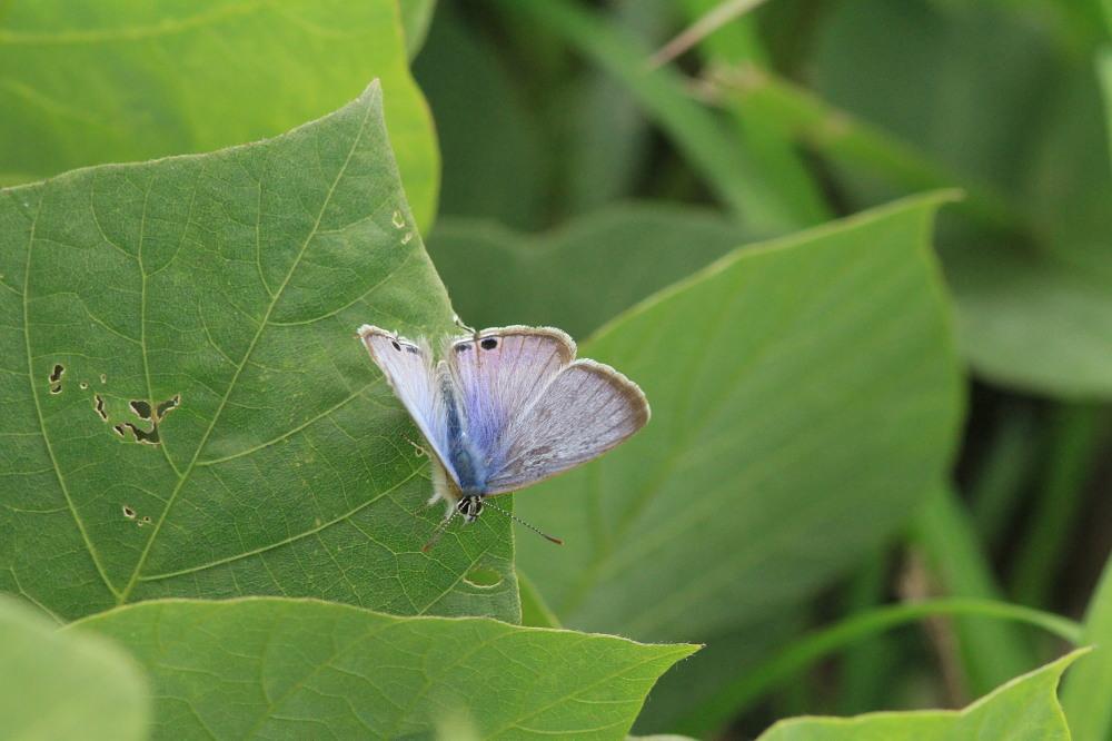 ウラナミシジミ  ♂雄の全開翅が得られない。 2012.10月中旬-栃木県_a0146869_20391152.jpg