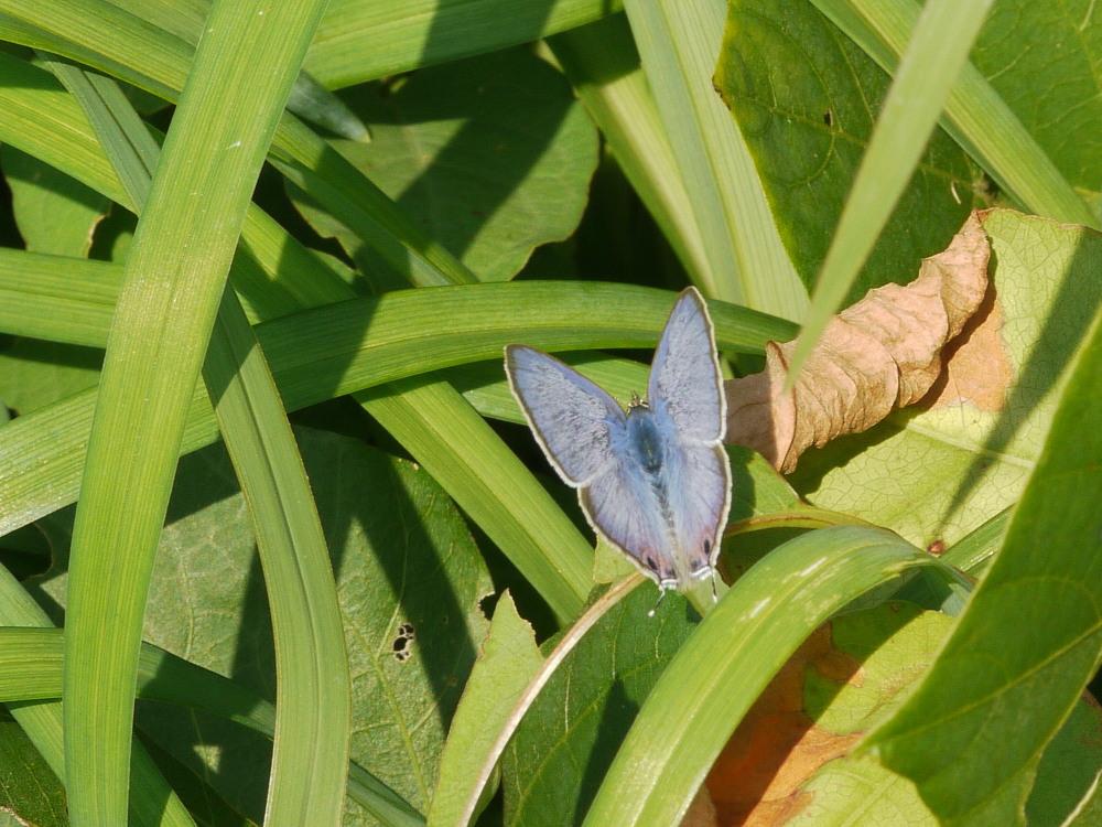 ウラナミシジミ  ♂雄の全開翅が得られない。 2012.10月中旬-栃木県_a0146869_20392489.jpg