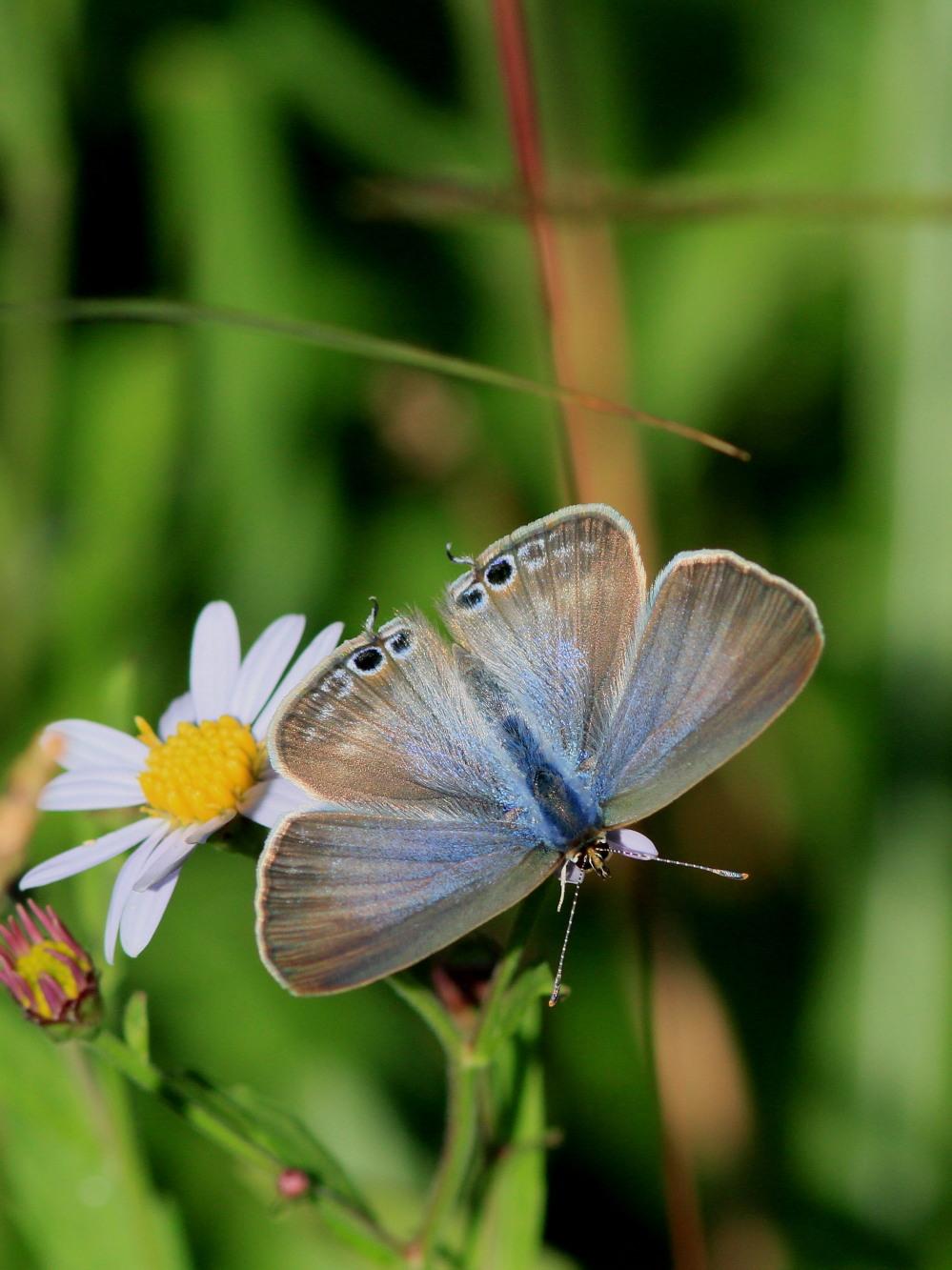 ウラナミシジミ  ♂雄の全開翅が得られない。 2012.10月中旬-栃木県_a0146869_20444536.jpg