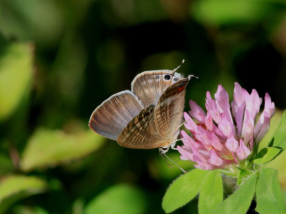 ウラナミシジミ  ♂雄の全開翅が得られない。 2012.10月中旬-栃木県_a0146869_20445368.jpg