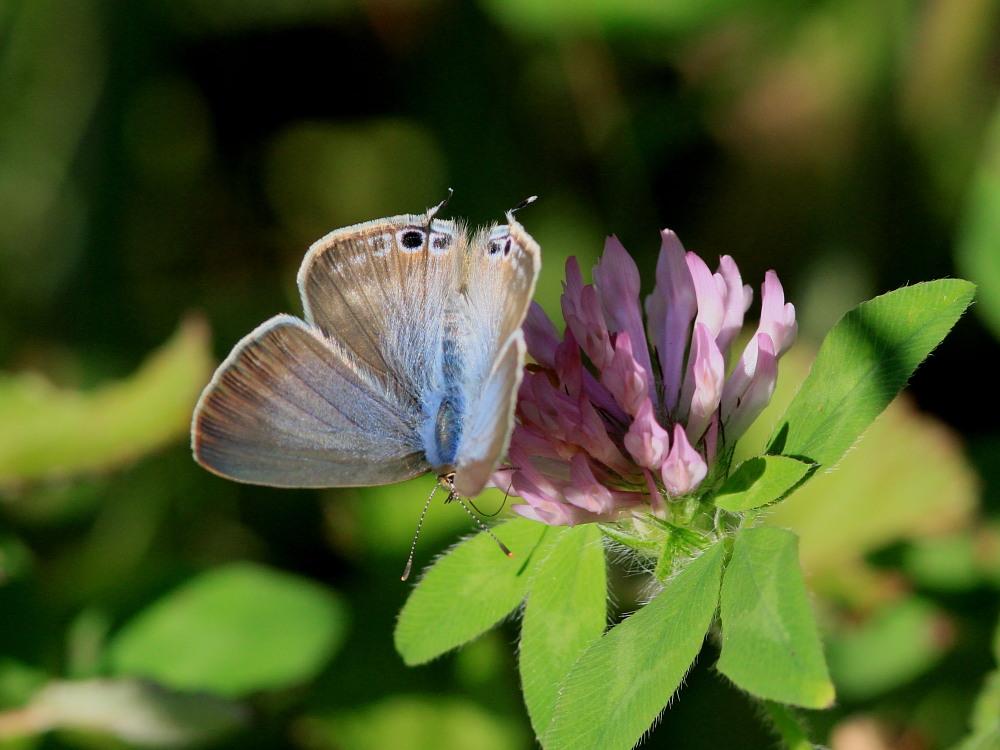 ウラナミシジミ  ♂雄の全開翅が得られない。 2012.10月中旬-栃木県_a0146869_2045122.jpg