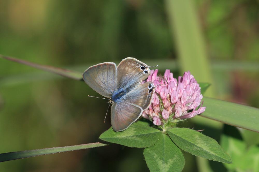 ウラナミシジミ  ♂雄の全開翅が得られない。 2012.10月中旬-栃木県_a0146869_20451436.jpg