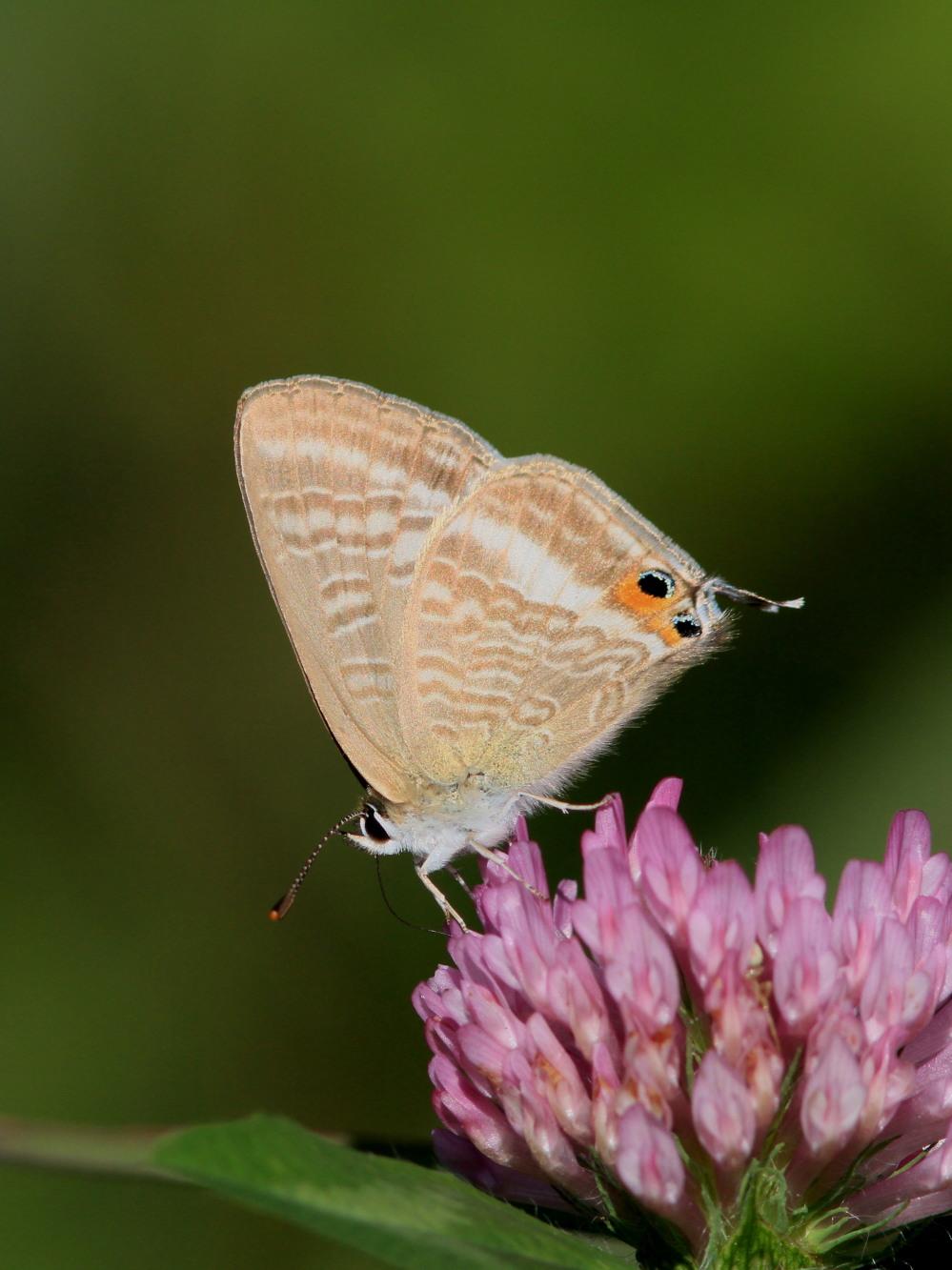 ウラナミシジミ  ♂雄の全開翅が得られない。 2012.10月中旬-栃木県_a0146869_2045799.jpg