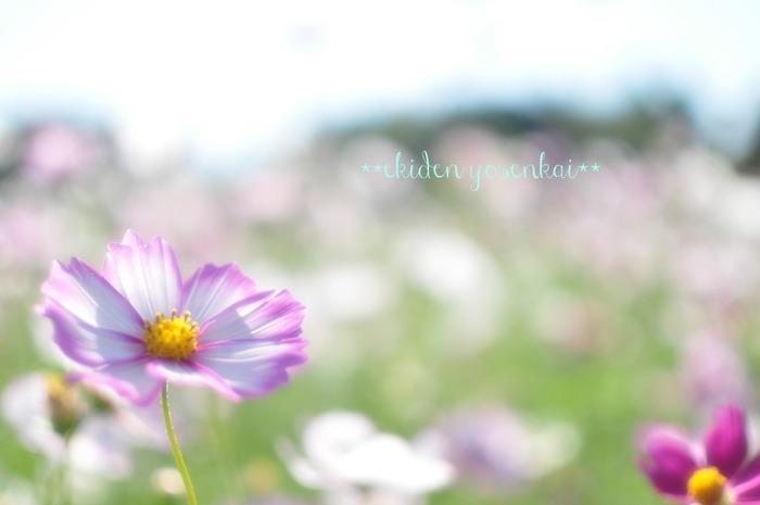 昭和記念公園のコスモス①_c0001744_16592188.jpg