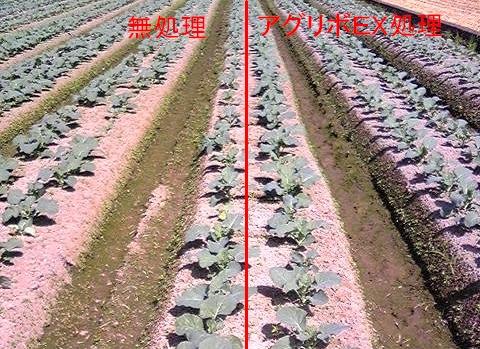 暑い時期の定植は活着をスムーズに!!_b0164360_1611051.jpg