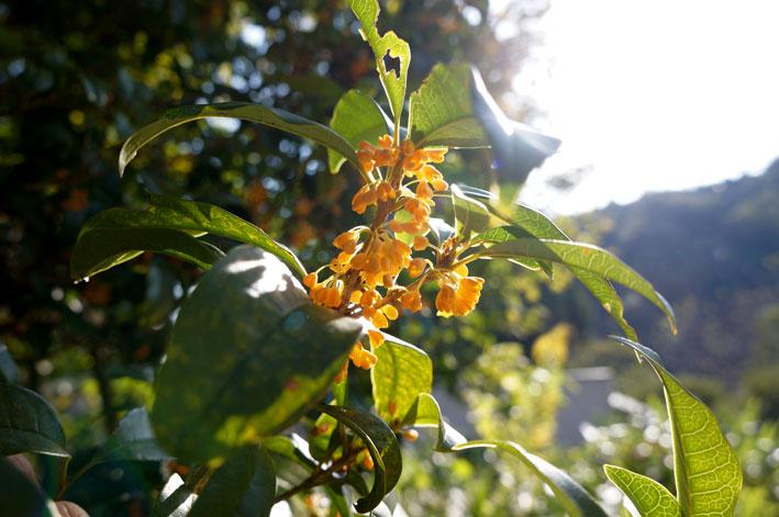 キンモクセイが咲きだした_b0145296_22162718.jpg