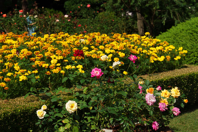 旧古河庭園の秋薔薇1_a0263109_10392036.jpg