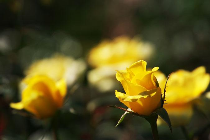 旧古河庭園の秋薔薇1_a0263109_10394826.jpg