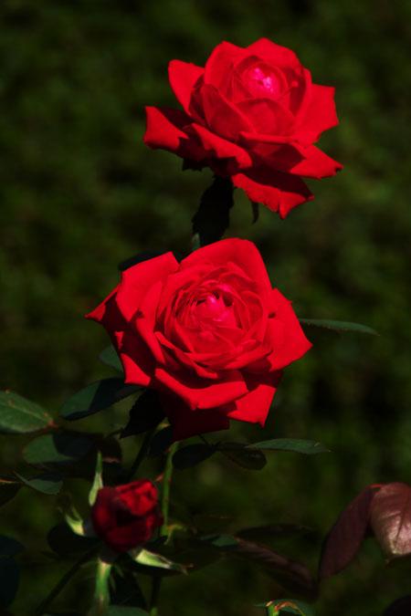 旧古河庭園の秋薔薇1_a0263109_10394930.jpg