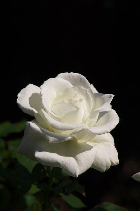 旧古河庭園の秋薔薇1_a0263109_10401760.jpg