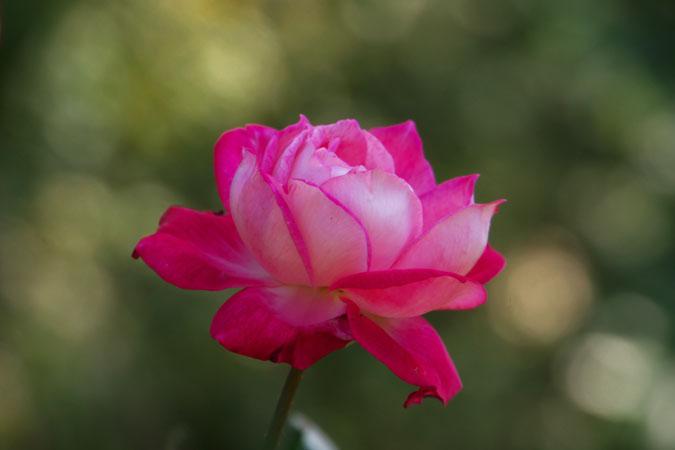 旧古河庭園の秋薔薇1_a0263109_10402110.jpg