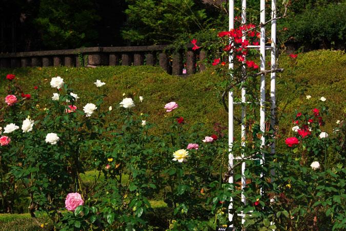 旧古河庭園の秋薔薇1_a0263109_10405366.jpg