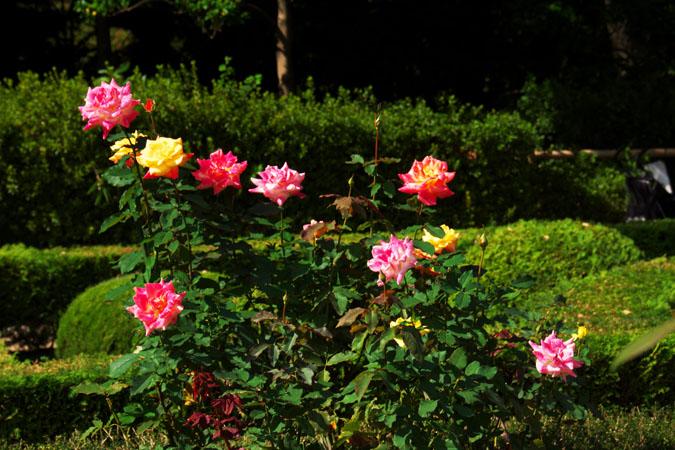 旧古河庭園の秋薔薇1_a0263109_10405411.jpg