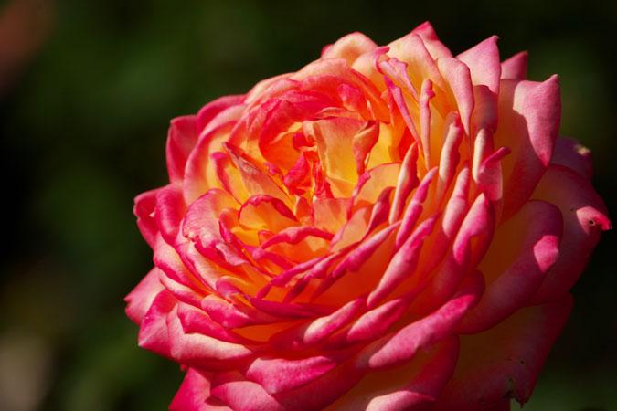 旧古河庭園の秋薔薇1_a0263109_10412030.jpg