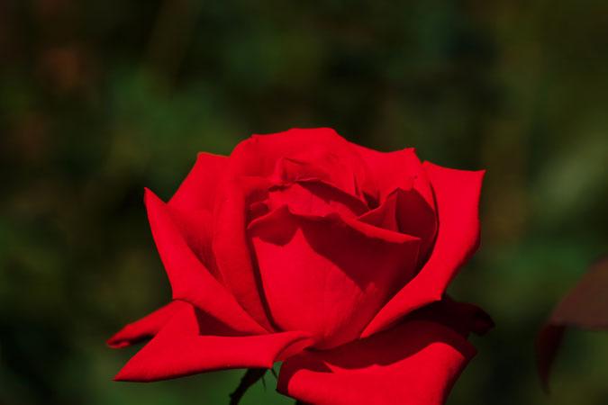 旧古河庭園の秋薔薇1_a0263109_10414224.jpg