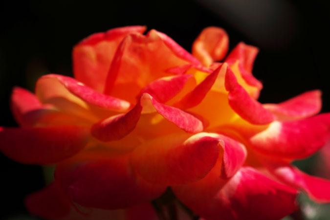 旧古河庭園の秋薔薇1_a0263109_1041448.jpg