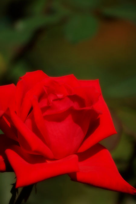 旧古河庭園の秋薔薇1_a0263109_10421018.jpg