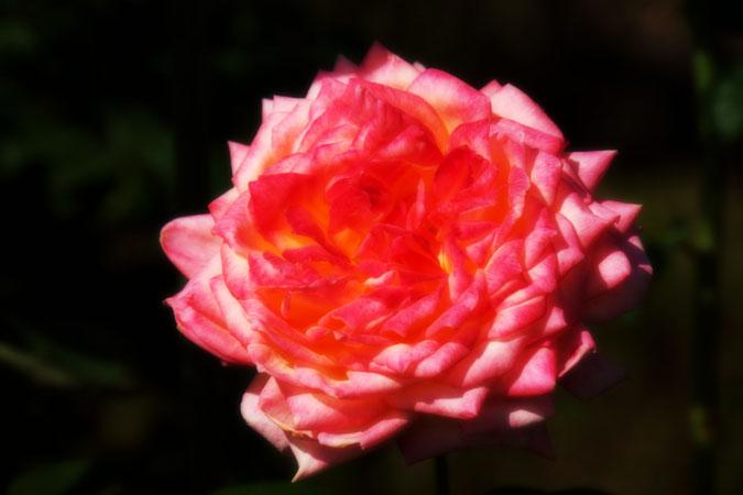旧古河庭園の秋薔薇1_a0263109_10423972.jpg