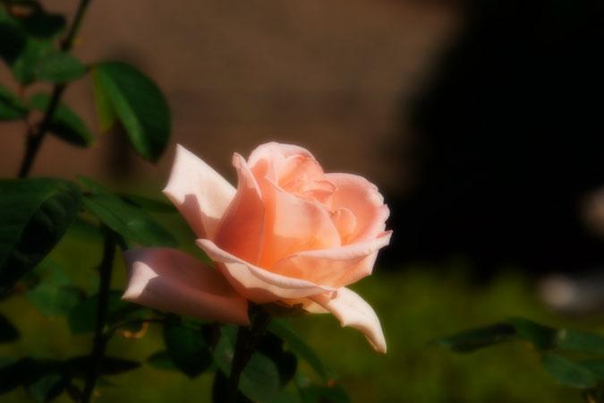 旧古河庭園の秋薔薇1_a0263109_10435032.jpg